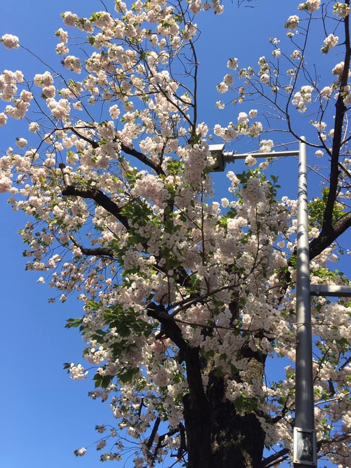 桜新町の桜